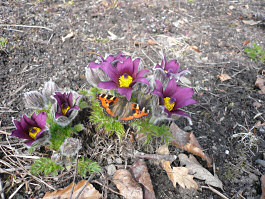 Easter Warmth. Pasque Flower